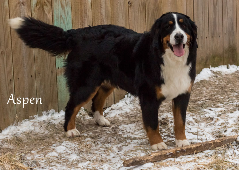 Our Bernedoodle Mom - Aspen Bernese Mountain Dog