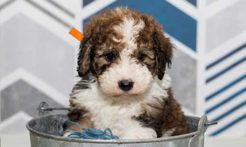 Bernedoodle Puppies By Island Grove Doodles