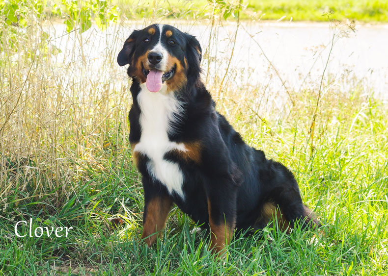 Bernese Mountain Dog Clover