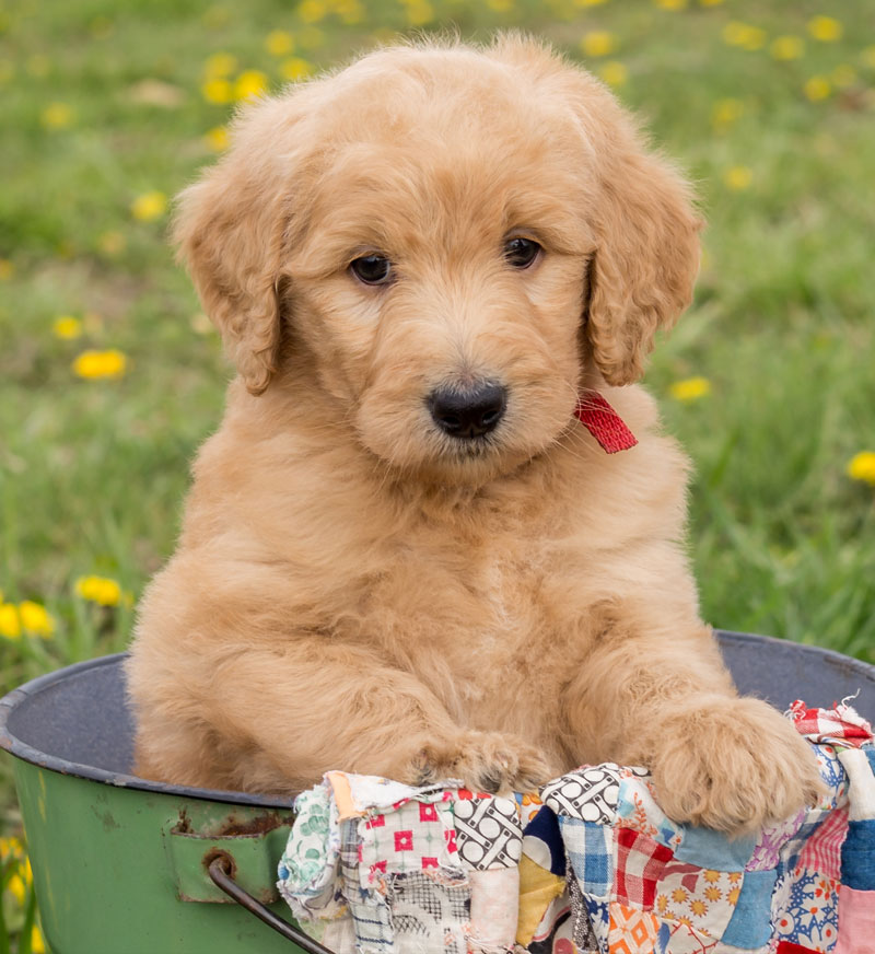 $50 In Pounds >> Available Goldendoodle Puppies by Island Grove Doodles