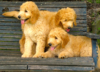 Buying a Goldendoodle or Bernedoodle Puppy