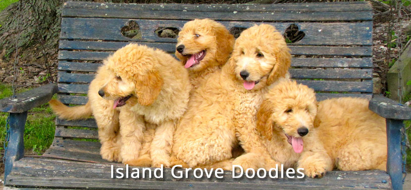 Goldendoodle Puppies in Illinois