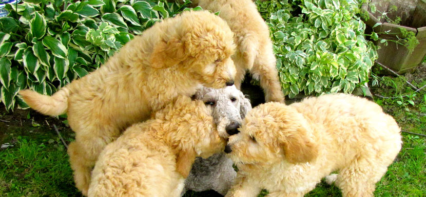 Goldendoodle and Bernedoodle Puppies in Illinois by Island Grove Doodles