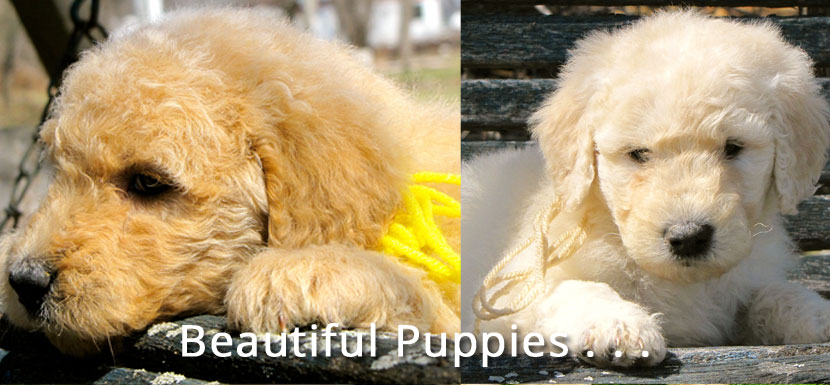 Goldendoodle and Bernedoodle Puppies in Illinois by Island