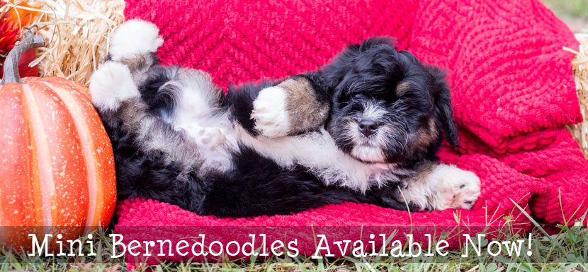 Goldendoodle Puppies in llinois
