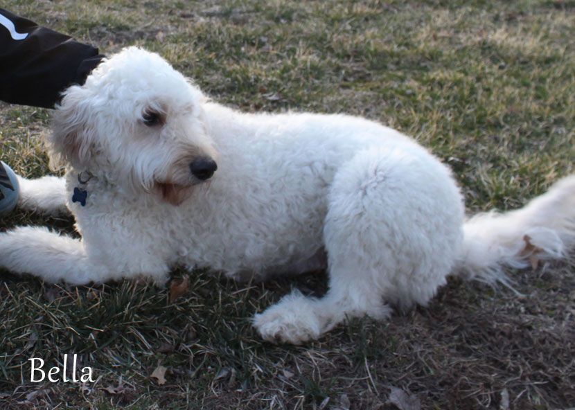 Goldendoodle Bella