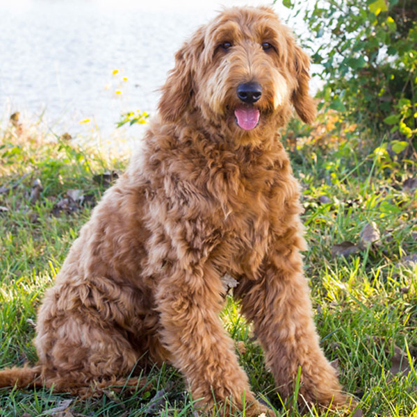 F1 Goldendoodle Mom