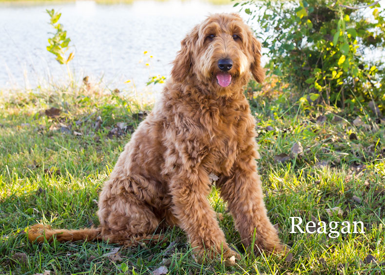 Goldendoodle Mom Reagan