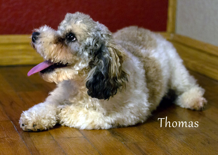 Thomas Goldendoodle Dad