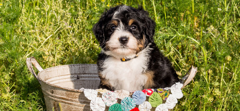 Bernedoodle Puppies in llinois